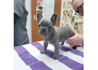 Adorable French Bulldog Puppies For Adoption